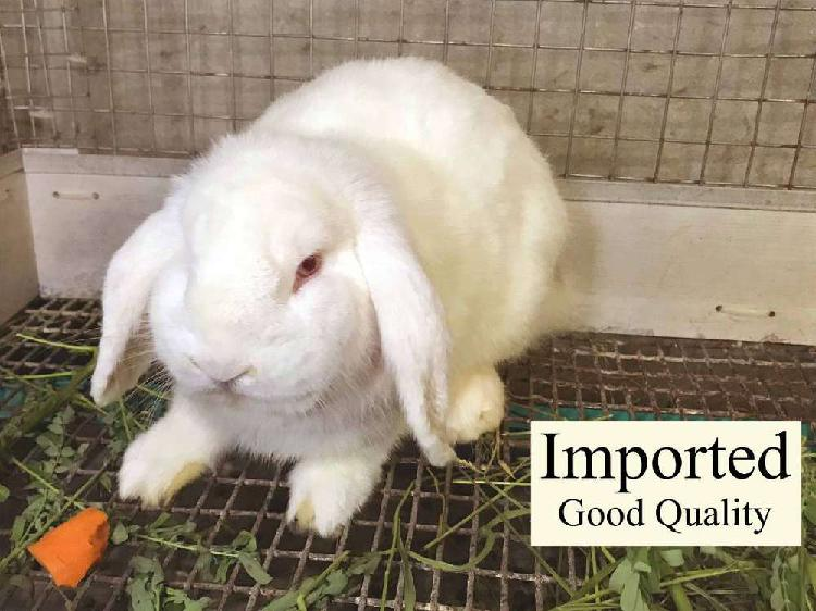 Holland lop red eyes white rabbit