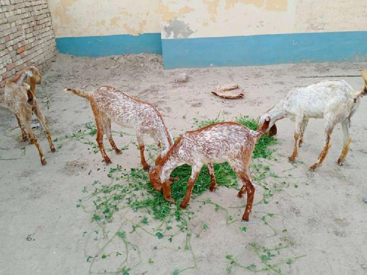 Pure makhi chini goats