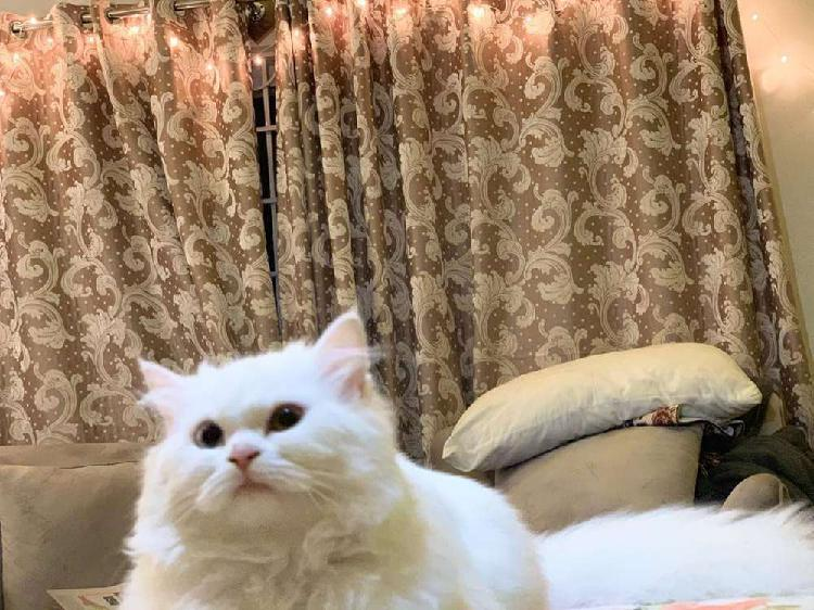 Triple coat persian male and female cat