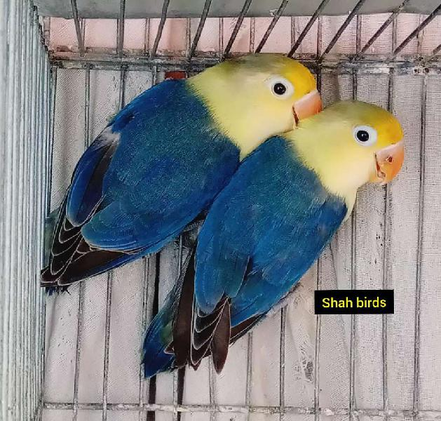 Beautiful violet parblue pair available