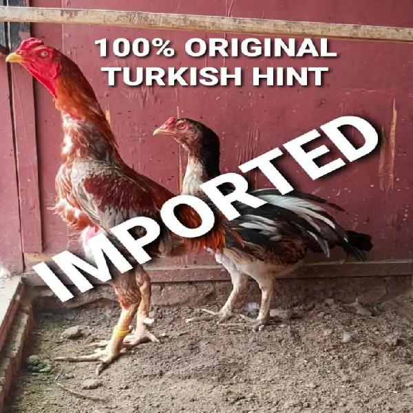 Pure turkish hint chicks of imported parents available now.