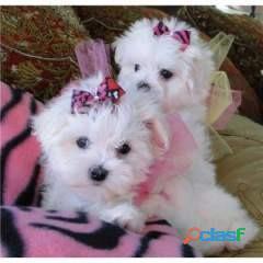 Home Raised Maltese Puppies