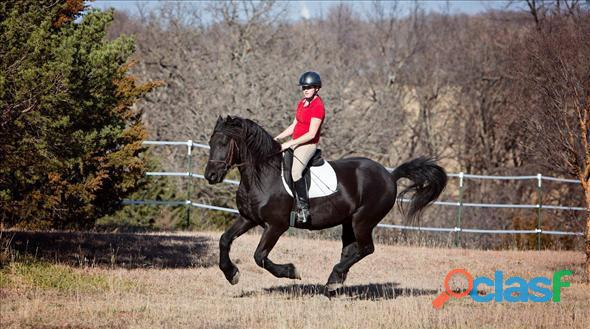 Friesian Horse for Sale
