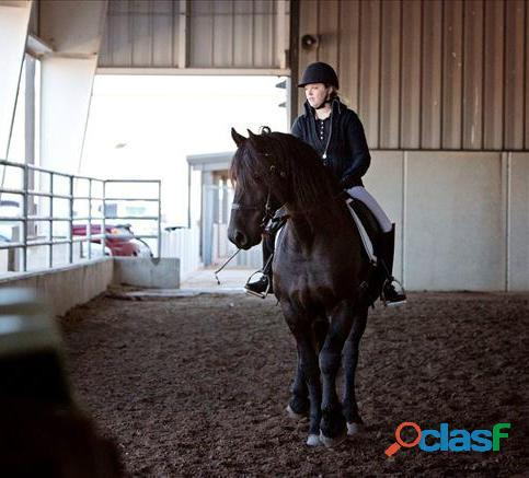 Friesian Horse for Sale 1