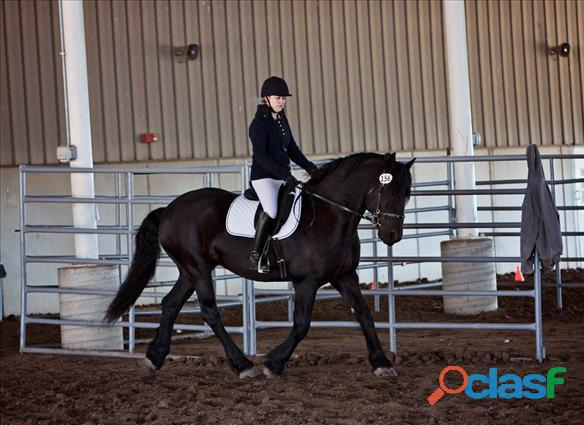 Friesian Horse for Sale 2